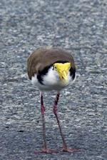 Masked Lapwing on the Road, Birds of the World