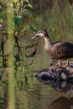 Pacific Blue Duck at Water's Edge, Birds of the World
