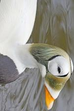 Spectacled Eider, Birds of the World