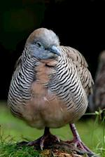Zebra Dove, Birds of the World