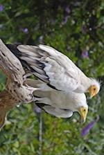 Egyptian Vulture Pair, Birds of the World
