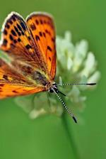 Ducats Falter Butterfly, for the Love of Nature