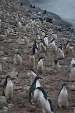 Adelie Penguins in Antarctica Journal