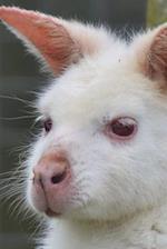 Albino Wallaby Journal