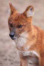 Dhole Journal