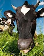 The Curious Cow, Jumbo Oversized