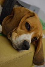 A Beagle Dog Journal