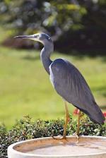 White-Faced Heron Bird Journal