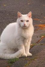 White Domestic Shorthair Cat
