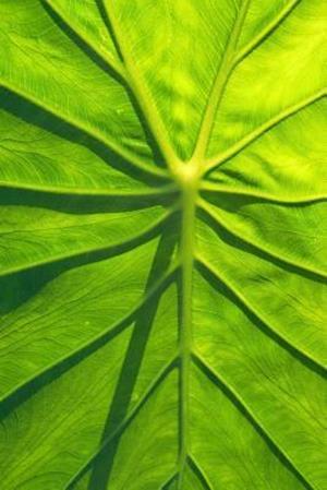 Bog, paperback Close-Up of a Taro Leaf Journal af Cs Creations