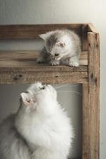 Persian Mother Cat and Baby Kitten Journal