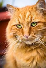 Dignified Marmalade Cat Journal
