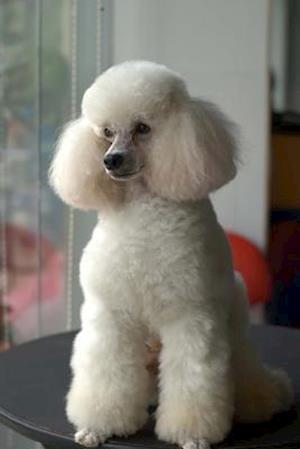 Bog, paperback Beautiful White Miniature Poodle Dog Journal af Cs Creations