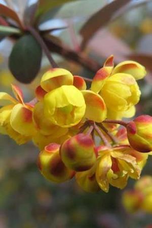 Bog, paperback Berberis Barberry Shrub Flower Blooming af Unique Journal