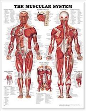 The Muscular System Anatomical Chart af Anatomical Chart Company, Not Available