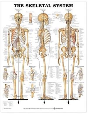 The Skeletal System Anatomical Chart af Not Available, Anatomical Chart Company